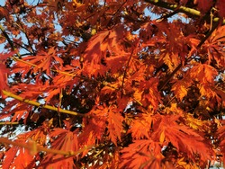 Fiery Red Japanesse ,Maple Tree, leaf background