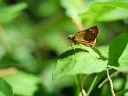 Fiery skipper butterfly on plant leaf with natural green background, Black stripes and dots on the brown wings of a tropical insect, Thailand