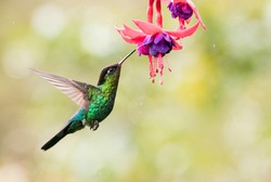 Fiery throated hummingbird is sucking the nectar out of the pink purple fuchsia flowers in Costa Rica. With movement in his wings and blurry green background.