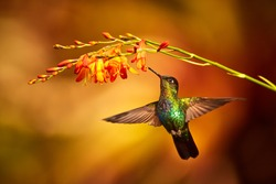 Fiery-throated Hummingbird, Panterpe insignis, shiny colour bird in fly. Bird drinks from crocosmia. Wildlife flight action scene from tropic forest. Mountain bright animal from Costa Rica