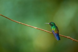 Fiery-throated Hummingbird, Panterpe insignis, shiny colour bird. Wildlife scene from tropic forest. Mountain bright animal from Costa Rica