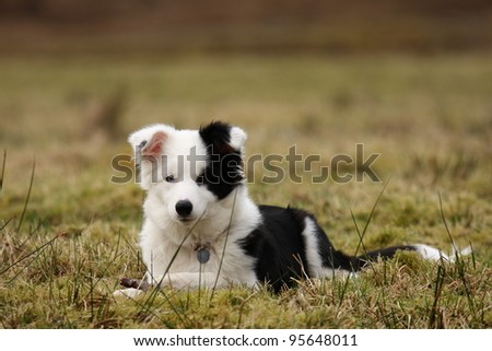 Fife month old Pedigree Border Collie in the Scottish Highlands.
