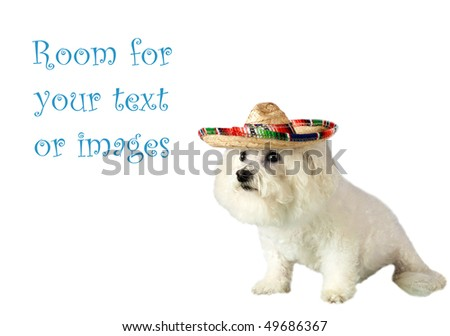 Fifi a beautiful Bichon Frise celebrates Cinco de Mayo isolated on white with room for your text or images - stock photo