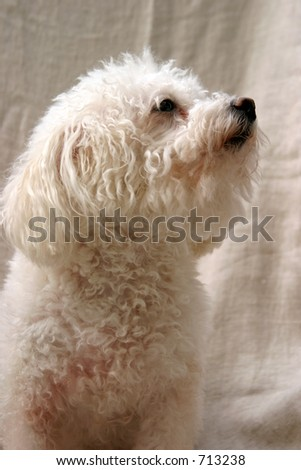 Fifi a Bichon Frise Dog sits and poses against a white sheet background