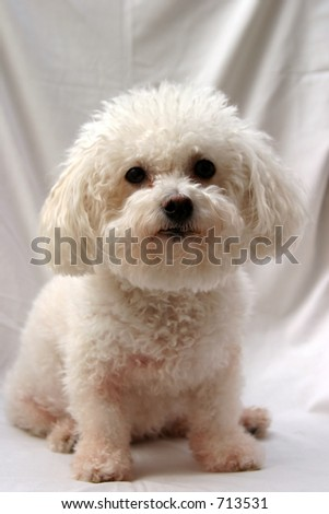 Fifi a Bichon Frise looks at the camera