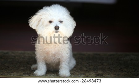 fifi a bichon frise looks outside to see whats going on and if there are any cats to chase
