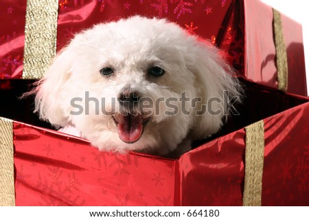 Fifi, a Bichon Frise smiles while looking out from a red Christmas Present with Gold Ribbon and a Golden Bow