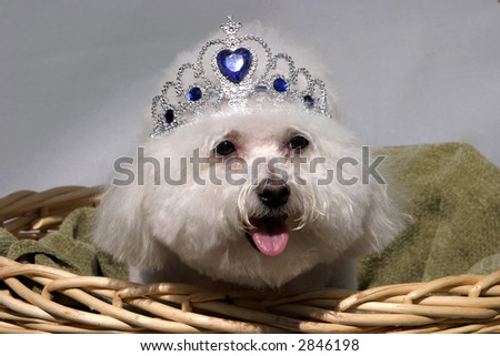 Fifi a Bichon Frise smiles while wearing her princess crown while in a wicker basket