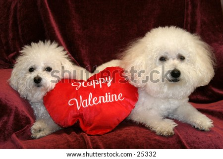 Fifi and Beau, both Bichon Frise's sit on a purple background with a Happy Valentine pillow