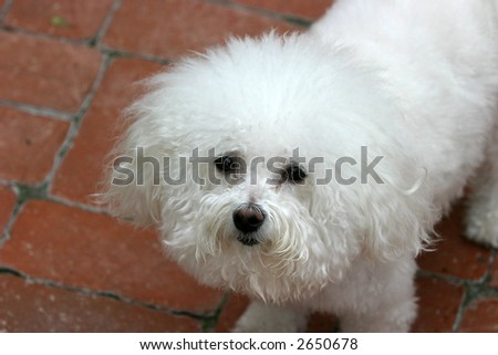 Fifi our Bichon Frise Smiles for the camera
