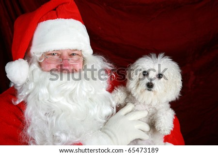 Fifi the Bichon Frise has her picture taken with Santa Claus against red crushed velvet - stock photo