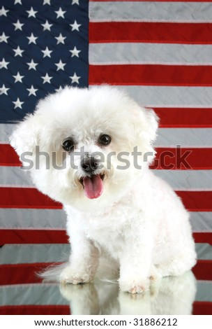 Fifi the Bichon Frise smiles as she sits in front of an American Flag and on a mirror for reflections Forth of July Series