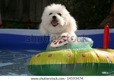 fifi the world famous Bichon Frise enjoys a Hot Summer Afternoon in her float toy boat in her personal swimming pool