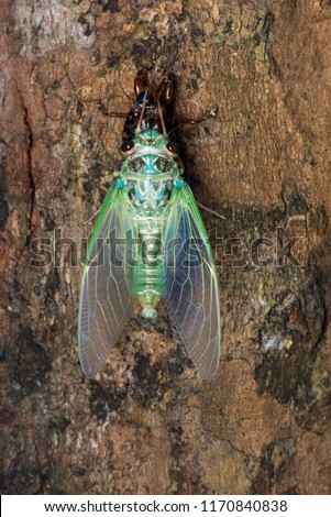 Fifth stage of molting cicada. Fully emerged. The cicada teneral is hanging onto it's exoskeleton with just the front forelegs.
