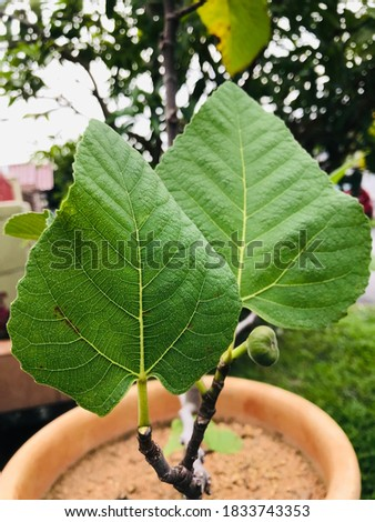 Fig fruit riches in minerals including potassium, calcium, magnesium, iron and copper and are a good source of antioxidant vitamins A and K that contribute to health and wellness. Stock foto ©