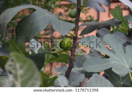 fig isnt mature Stok fotoğraf ©