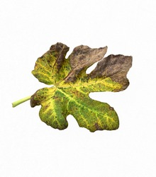 Fig leaf isolate,old leave,Fallen leaves,yellow and brown leaf,Autumn