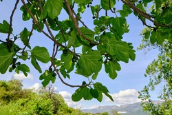 Fig tree branches (Ficus carica) with leaves and fruits against the blue sky.