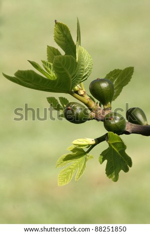 Fig tree with young fruits