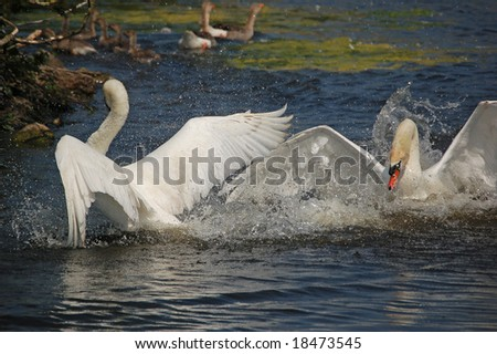 Fight between two angry swans defending their territory