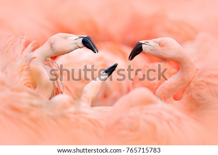 Fight of American flamingos, Phoenicopterus rubernice, pink big birds, dancing in the water, animal in the nature habitat, Cuba, Caribbean. Wildlife scene from nature. Flock of colorful birds.