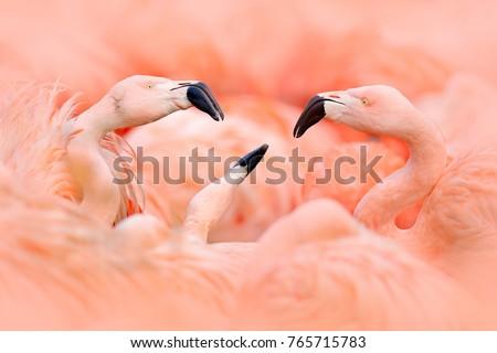 fight of american flamingos ...