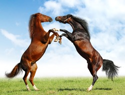 fight of horses.
