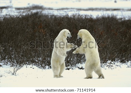 Fight of polar bears. Two polar bears fight. Snow-covered tundra with undersized vegetation.