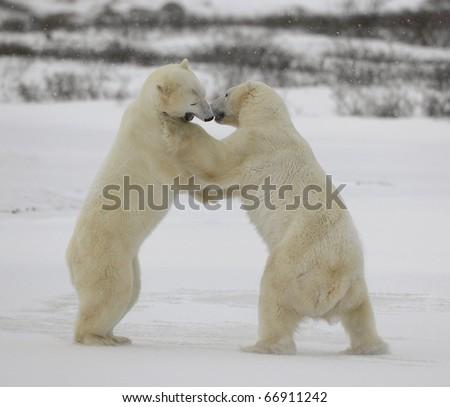 Fight of polar bears. Two polar bears fight. Tundra with undersized vegetation. .