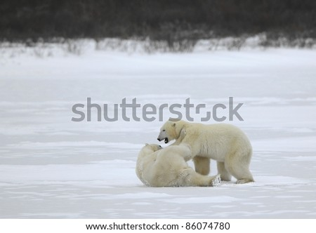 Fight of polar bears. Two polar bears fight. Tundra with undersized vegetation. .
