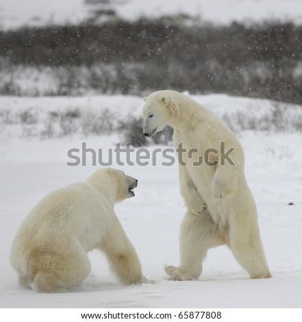 Fight of polar bears. Two polar bears fight. Tundra with undersized vegetation. Snow.