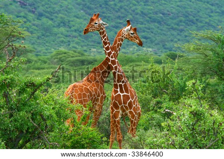 Fight of two giraffes. Africa. Kenya. Samburu national park.