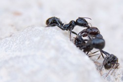 Fight to death between two rival anthill ants different for survival