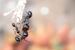 Fight to the death on a branch between different rival ant ants to survive