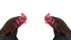 Fighter cock, rooster or chicken isolated on white background. Rooster comb or head close up. Cock fight is a tradition in south Asian and south east asian countries including thailand.