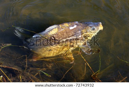 common carp pictures. house common carp.