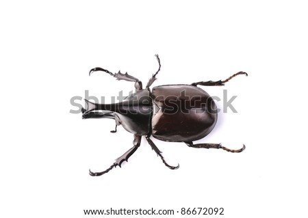 Fighting Beetle isolated on white background