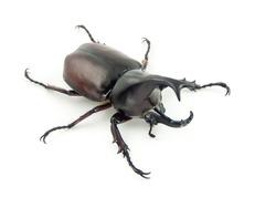 fighting beetle (rhinoceros beetle) isolated on white