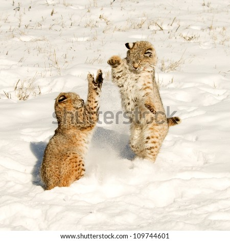 Fighting Bobcats