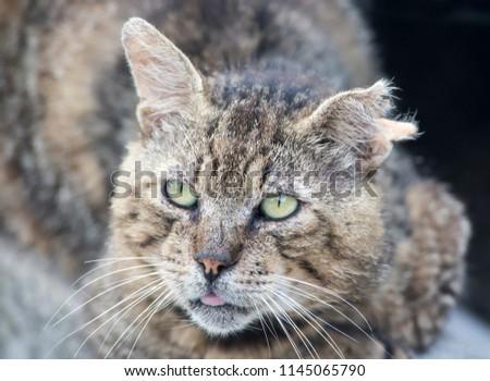 fighting cat, domestic cat #1145065790