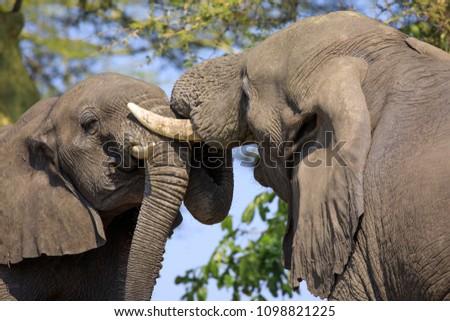 Fighting elephants in Liwonde N.P. - Malawi