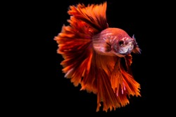 Fighting fish,Siamese fighting fish (Betta splendens)halfmoon  with a beautiful tail Fluttering, on a black background