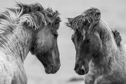 Fighting horses in nature reserve Oostvaardersplassen