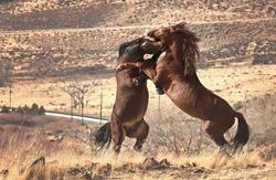 Fighting Stallions Wild Nevada Desert