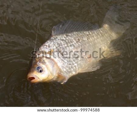 Fighting the Carp (Crucian Carp) on a fishing line.
