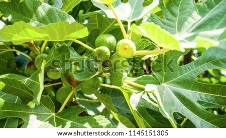 Figs on the branch of a fig tree in the garden. Figs ripening on a fig tree. Dripping ripe fig on the tree with green fruit, closeup, soft focus. Organic diet nutrition in nature concept. Wallpaper.