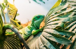 Fiji banded iguana (Brachylophus bulabula) is species of iguanid lizard endemic. Beautiful green lizard sits on the palm leaf. Endangered not poisonous reptile.