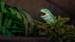 Fiji banded iguana yawning in terrarium