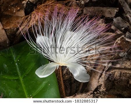 Fiji, Taveuni Island. Exotic white flower. Barringtonia asiatica (aka Fish Poison Tree or putat) flower. Сток-фото ©