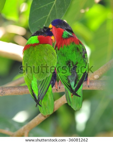 fijian collared lory mating pair, melanesia, south pacific, colorful bird